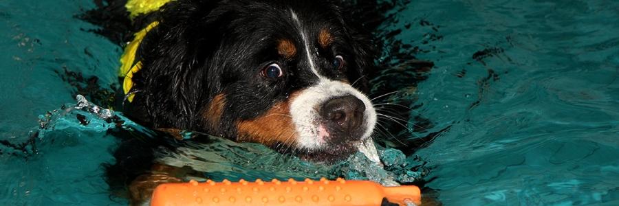 Die Aquatherapie beim Hund steigert nachweisbar: